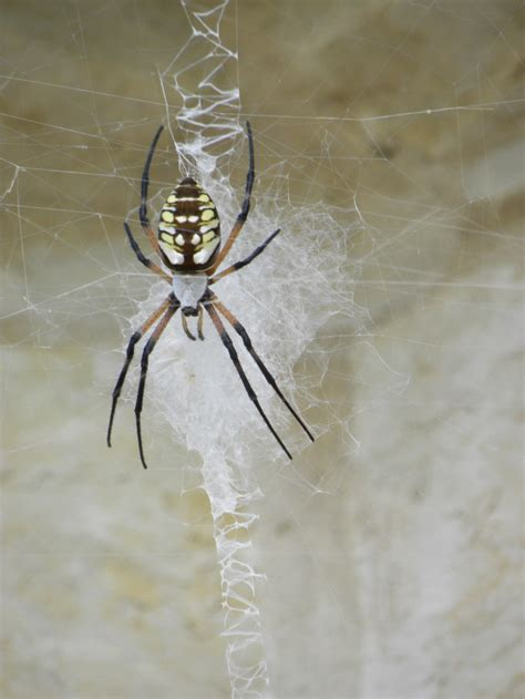 Garden Spider Poisonous by Diane S Garden Yellow Garden Spider