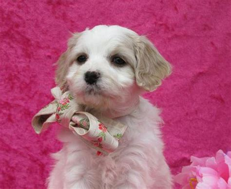 cavachon puppies for sale mn cavachon puppies for sale in minesota