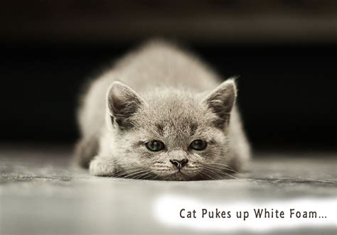 puking white foam cat pukes up white foam home remedies for cat owners who cannot afford veterinarian