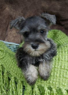 schnauzer doodle puppies for sale gaga labradoodles puppies for sale dogs for adoption