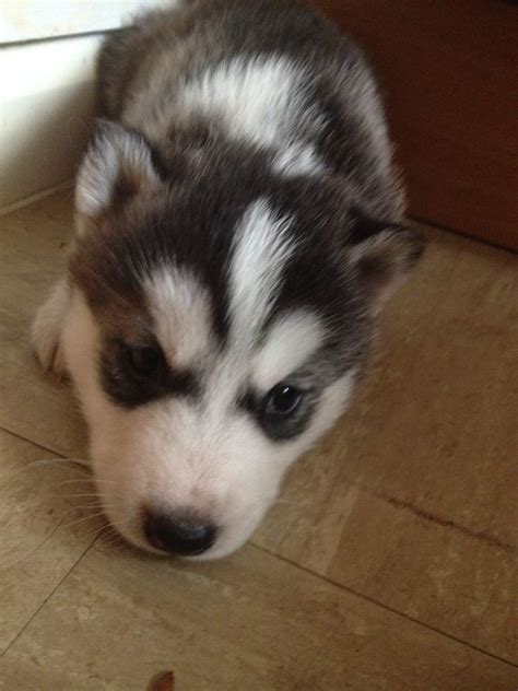 huskey puppies for sale siberian husky puppies for sale sidmouth pets4homes