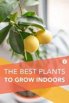 best plants to grow indoors 1000 ideas about indoor vegetable gardening on pinterest