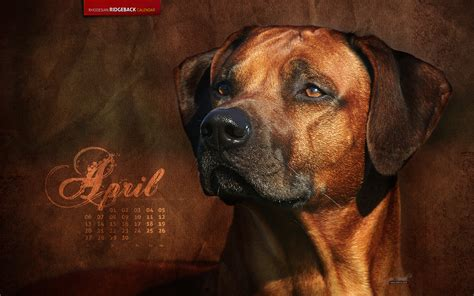 rhodesian ridgeback mix puppies for sale rhodesian ridgeback pitbull mix puppies for sale breeds picture