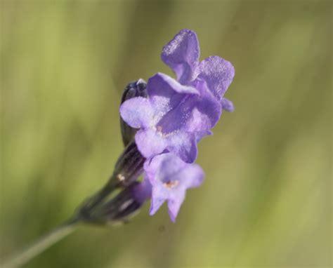 fleur de lavande sauvage les taxinomes