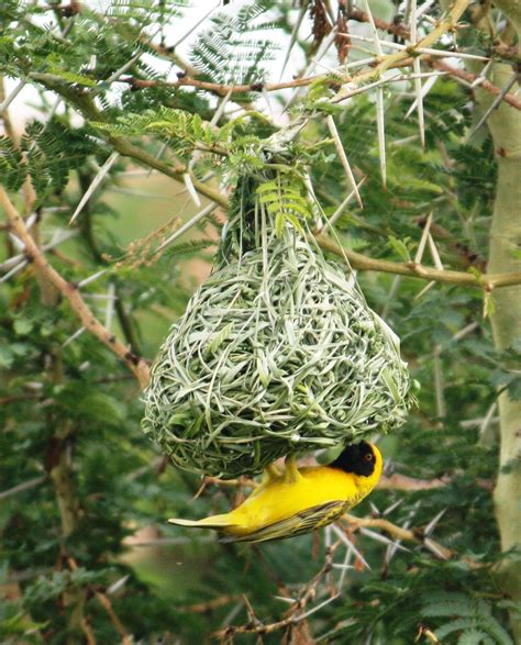 joburg expat weaver bird nests how men can never get it