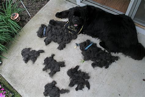 Do Newfoundland Dogs Shed bojie and rigsby how the west was won one newf at a time