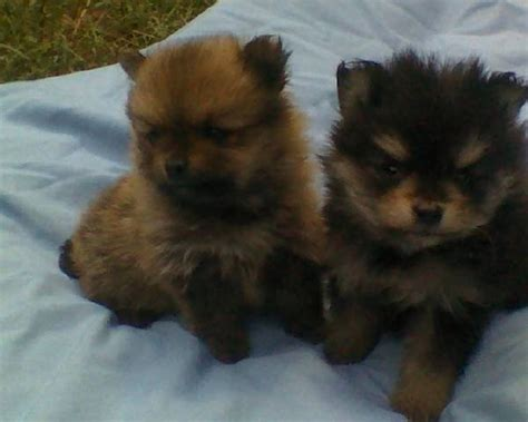 puppies for adoption in ga beautiful pomeranian puppies for sale adoption from cuthbert adpost