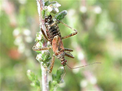 bug tree unlimited tree damsel bug hymacerus apterus