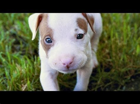 60 Seconds Of Cute American Pit Bull Terrier Puppies ...