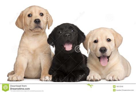 los perritos havanese tres perritos de labrador 7 semanas de viejo im 225 genes de archivo libres de regal 237 as