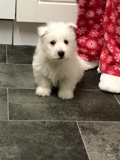 puppy land west high land puppy for sale middlesbrough pets4homes