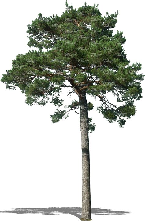 The Pine Tree cut out pine tree cut out trees and plants vishopper