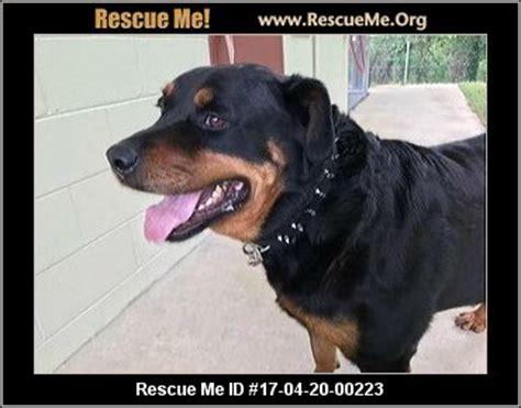 rottweiler rescue near me carolina rottweiler rescue adoptions rescueme org