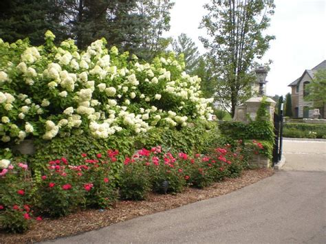 Landscape Pictures With Hydrangeas Hydrangea Limelight Knock Out Roses Landscape Plants