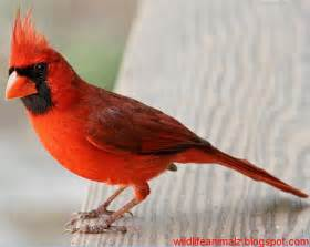 cardinal the beautiful red birds of america the wildlife