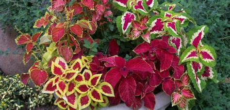 container gardening colorado container gardening with coleus source