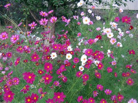 cottage garden flowers notes from a cottage garden cosmos a cottage garden classic