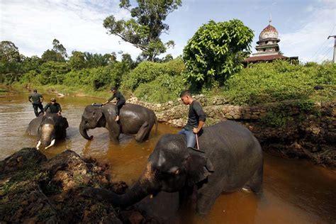 Siapa Bilang Sulit Connie Siska anak gajah sumatera ini lahir di hari bakti rimbawan mongabay co id