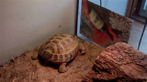 7 Tips On Caring For A Russian Tortoise by Basic Russian Tortoise Care