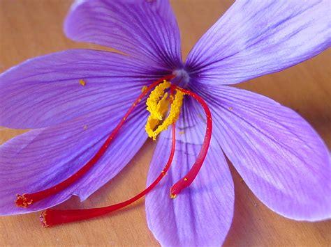 la flor del azafrn flor de azafran colisito