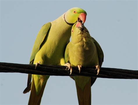 courtship behavior in indian ring necked parakeets flickr