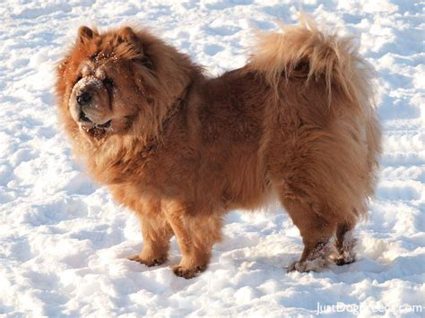 chow breed chow chow4 jpg chow chow breeds
