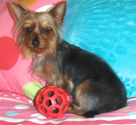 yorkies inc placement service small yorkie puppy for adoption kathy breeds picture