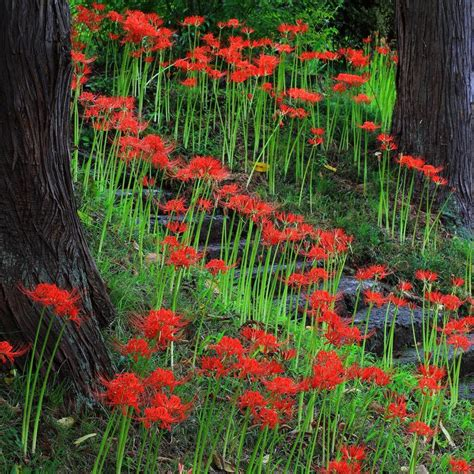 red lycoris radiata red surprise lily red magic lily