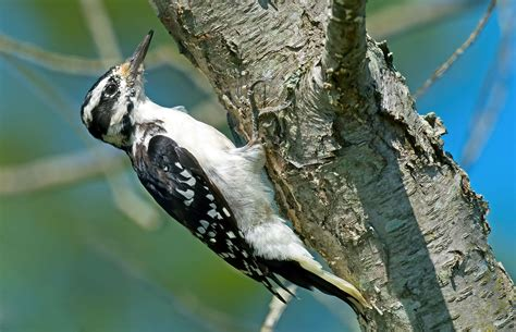 hairy woodpecker audubon field guide