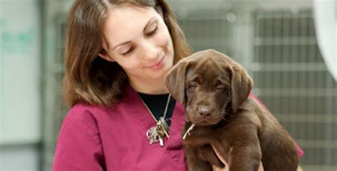 lab puppy cost labrador puppy will cost you lovable labradors