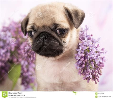 pugs and roses pug puppy and flowers stock images image 24802194