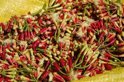 fiori di garofano gli oli essenziali le famiglie mirtacee e varie