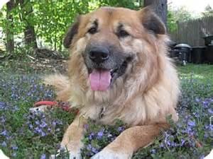 Chow chow german shepherd dog mix dog for adoption in framingham