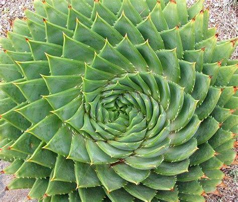 Unique Kaktus aloe polyphylla spiral aloe lesotho succulent seeds seeds for africa