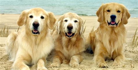 golden retriever rescue il golden retriever club of illinois