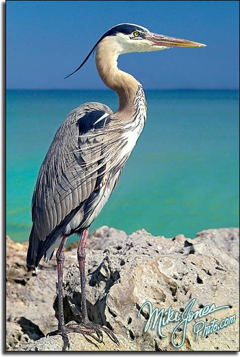 1000 ideas about blue heron on birds information herons and grey heron