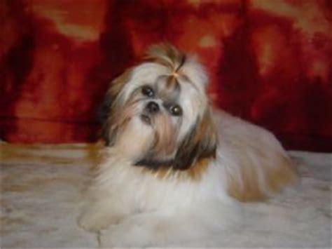 shih tzu puppies for sale dallas tx shih tzu puppies for sale from dallas fort worth design bild