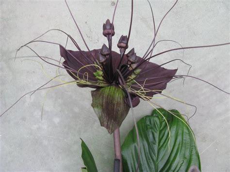 orchidea nera fiore orchidea a fiore scuro