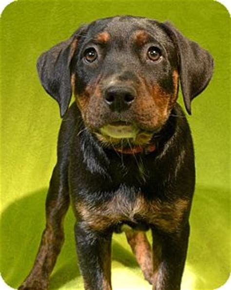 rottweiler hound mix puppies page adopted puppy rochester mi plott hound rottweiler mix