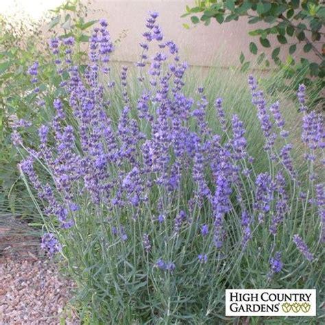 most fragrant lavender plant 25 best ideas about lavender plant on