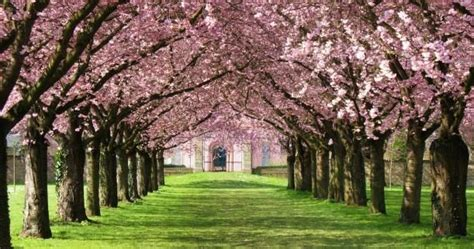 how to grow and care for cherry blossom trees home