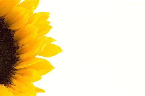 sunflower powerpoint template sunflower backgrounds wallpaper cave