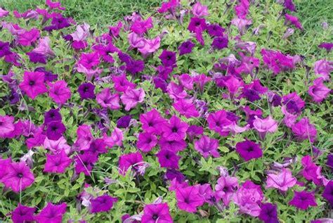 fiore petunia surfinia piante da giardino fiore surfinia