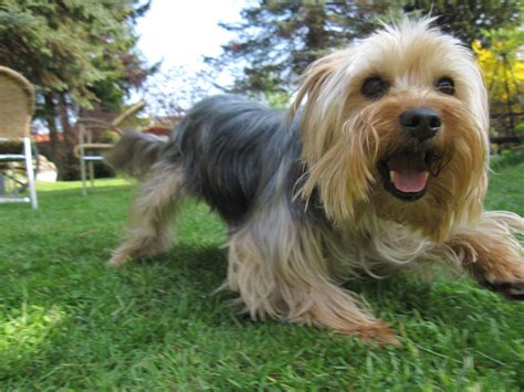 world s largest yorkie yorkie wallpaper 2017 2018 best cars reviews