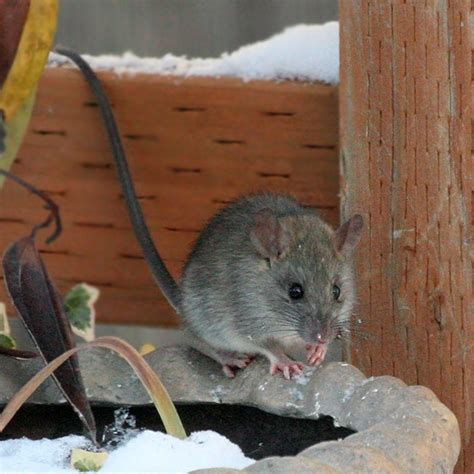 How To Get Rid Of Mice In Ceiling by Rats In The Attic Havensokol