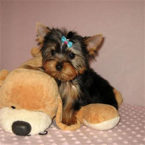 yorkie breeders in illinois pets bolingbrook il free classified ads