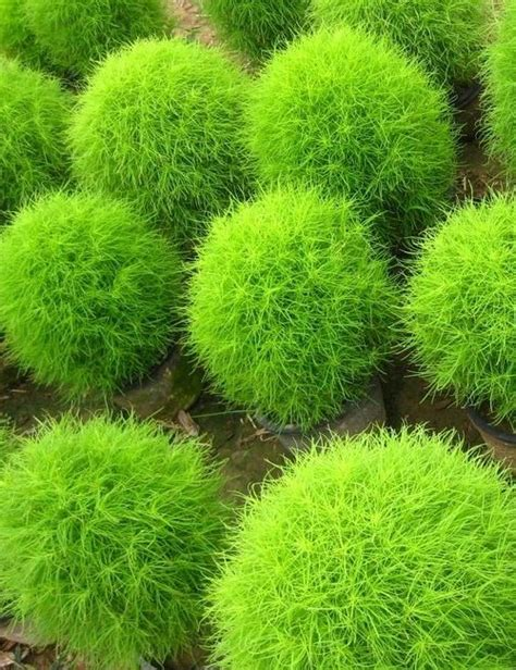 burning bush kochia seeds greenmylife anyone can garden