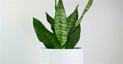 grow snake plant  pakistan anonymous enthusiast