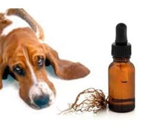 valerian root for dogs valerian root dosage for anxiety sleep insomnia pills mg for dogs right valerian