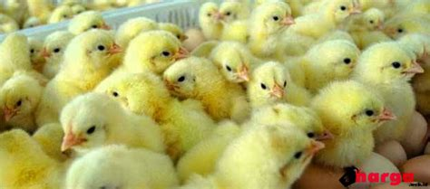 Bibit Ayam Petelur Unggul update harga bibit doc day ayam petelur daftar harga tarif